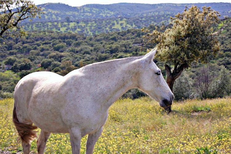 caballos PRE